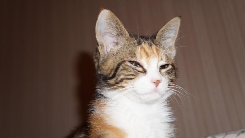 IZAE, chatonne tricolore, née le 11/10/13  Dsc02212