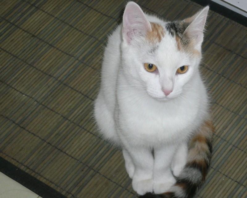 Ixprim, femelle tricolore née en septembre 2013 P1040612