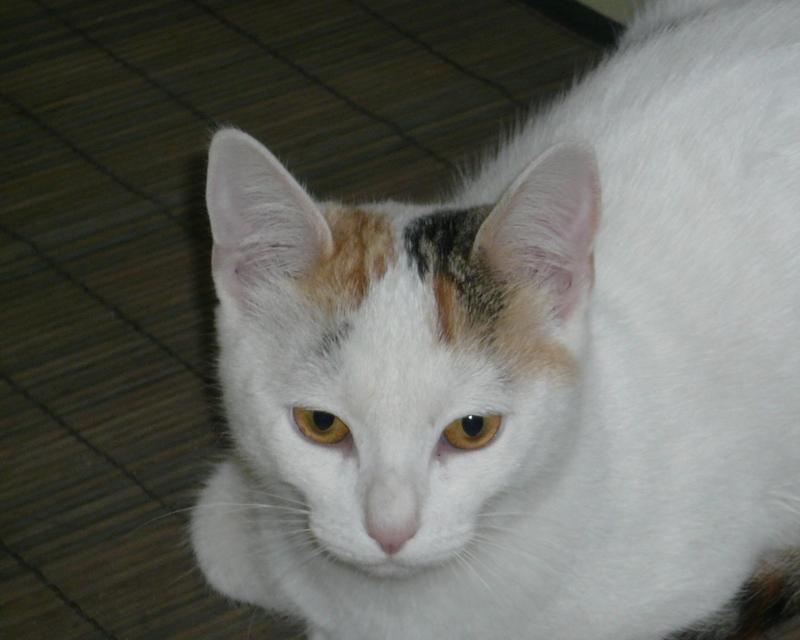 Ixprim, femelle tricolore née en septembre 2013 P1040613