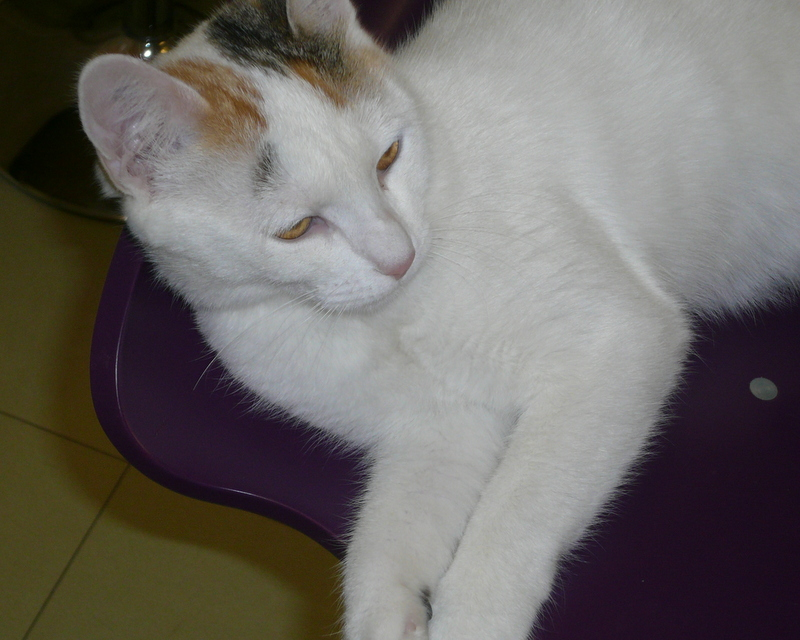 Ixprim, femelle tricolore née en septembre 2013 P1040614