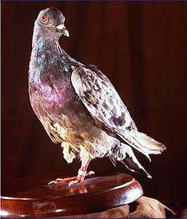 Pigeons voyageurs allemands capturés. Cher_a10
