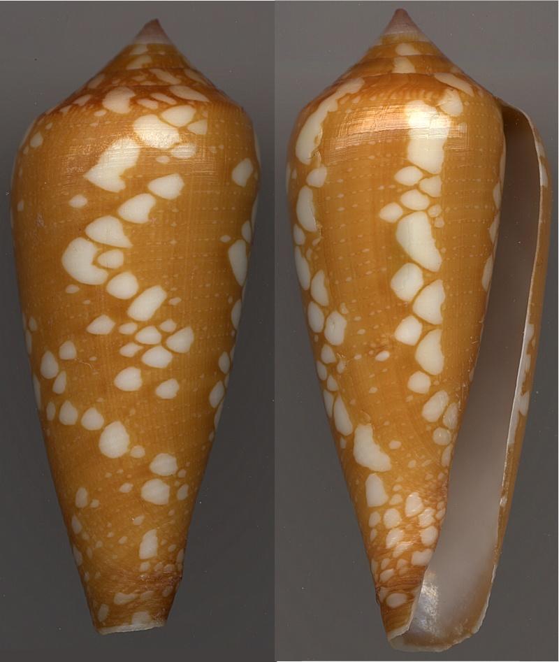 Conus (Darioconus) crocatus   Lamarck, 1810 - Page 4 Crocat10
