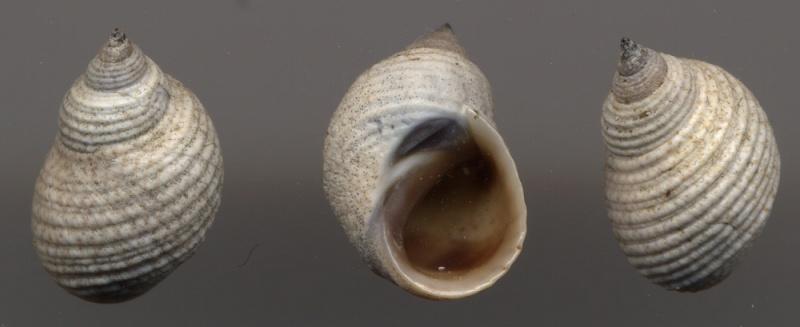 Echinolittorina modesta - (Philippi, 1846)  Echino11