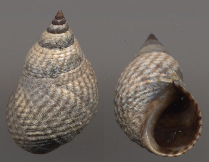 Echinolittorina aspera - (Philippi, 1846)  Echino12