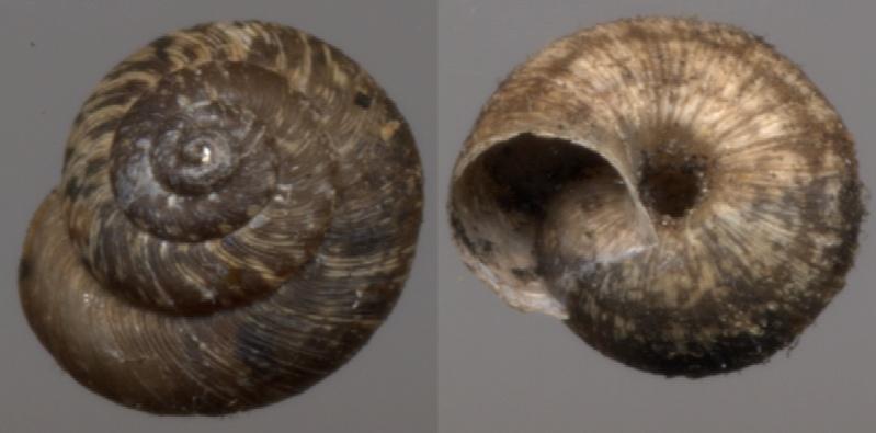 Xerotricha conspurcata (Draparnaud, 1801) Escarg12