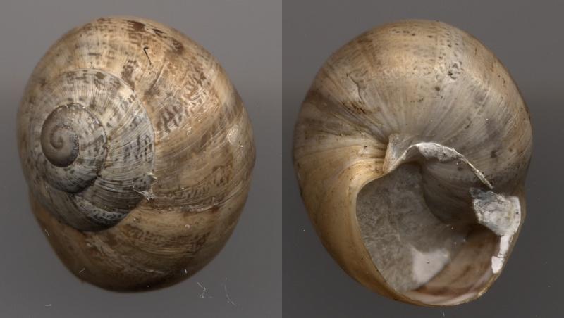 Eobania vermiculata (Müller, 1774) Escarg14