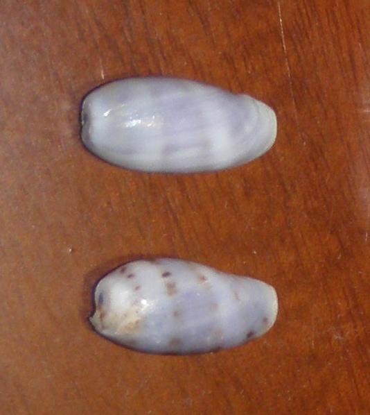 Porcelaines juvéniles de Mahé (Seychelles) à identifier = Cypraea caurica Porcel10