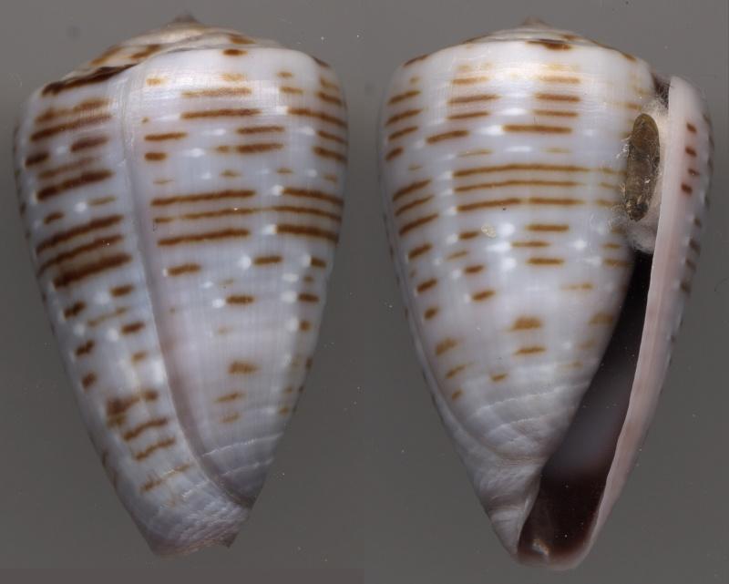 Trovaoconus pseudonivifer (Monteiro, Tenorio & Poppe, 2004) Pseudo10