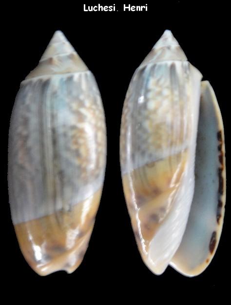 Agaronia gibbosa (Anazola) Born, 1778 Agaron11