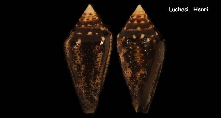 Conasprella (Ximeniconus) mahogani (Reeve, 1843) Conus_22