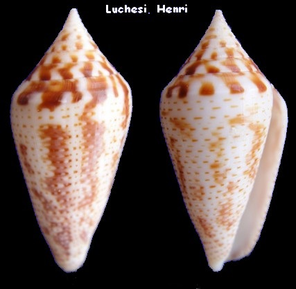 Conasprella (Ximeniconus) mahogani (Reeve, 1843) Conus_23