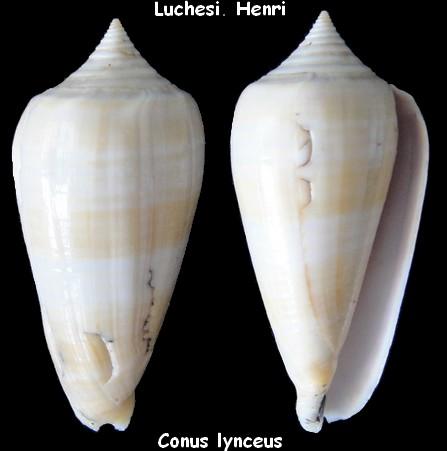 Conus (Phasmoconus) lynceus  GB. Sowerby II, 1858 - Page 2 Conus_26