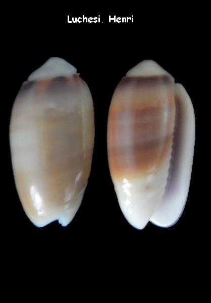 Oliva carneola f. trichroma (Galeola) - Dautzenberg 1927 Oliva_25