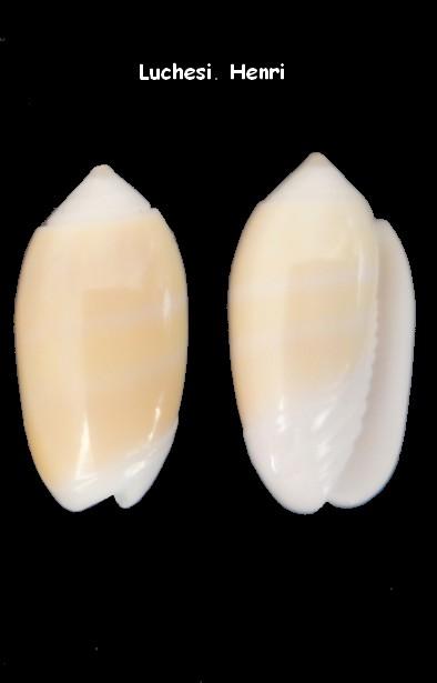 Oliva carneola (Galeola) Gmelin, 1791 Oliva_26