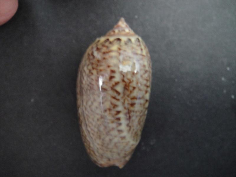 Americoliva violacea (Marrat, 1867) Oliva_31