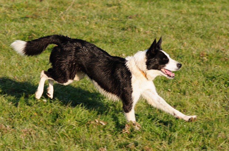 DJAZZY, chienne type border collie de 5 ans New_7918