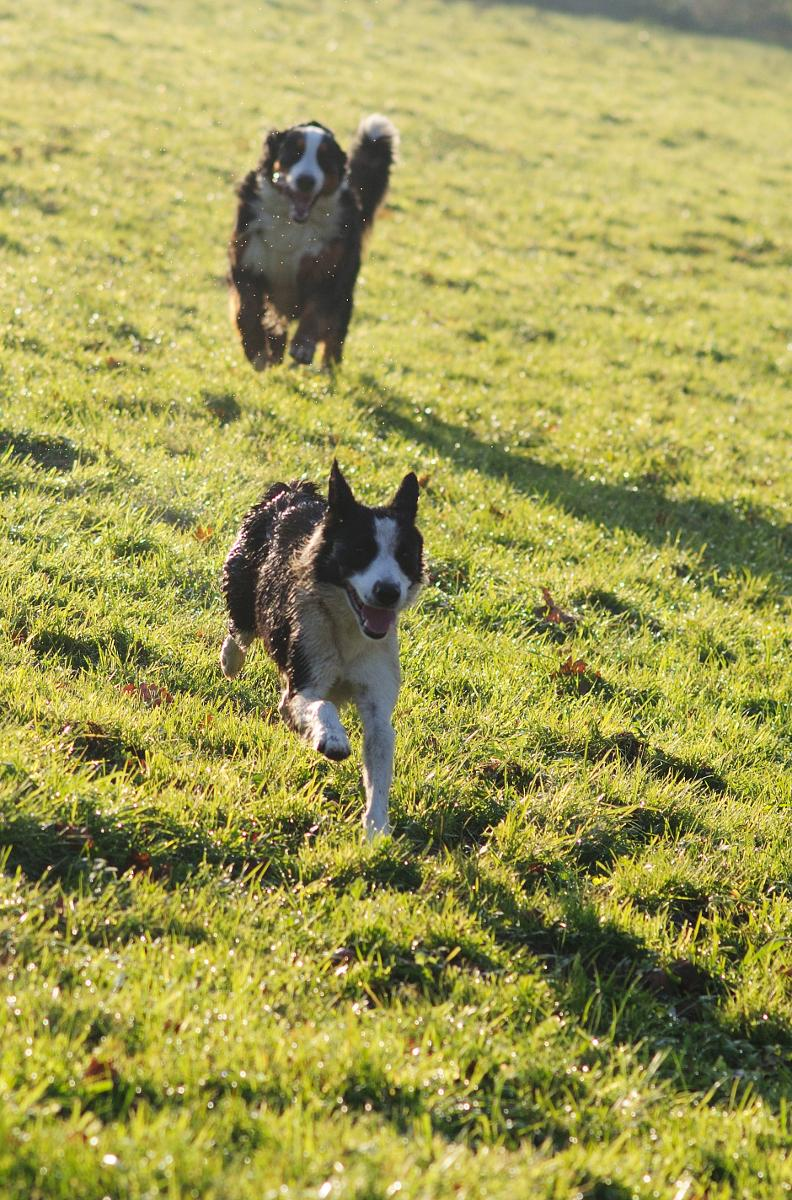DJAZZY, chienne type border collie de 5 ans New_7919