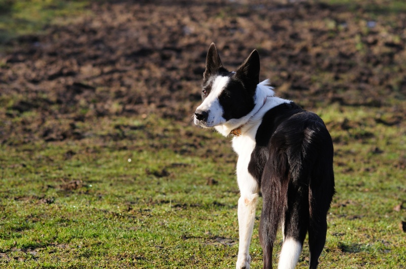 DJAZZY, chienne type border collie de 5 ans New_7920