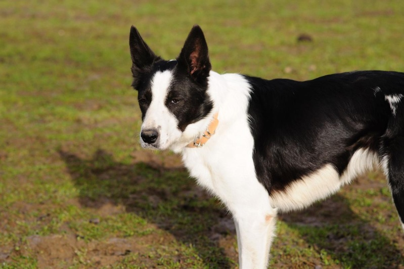 DJAZZY, chienne type border collie de 5 ans New_7922