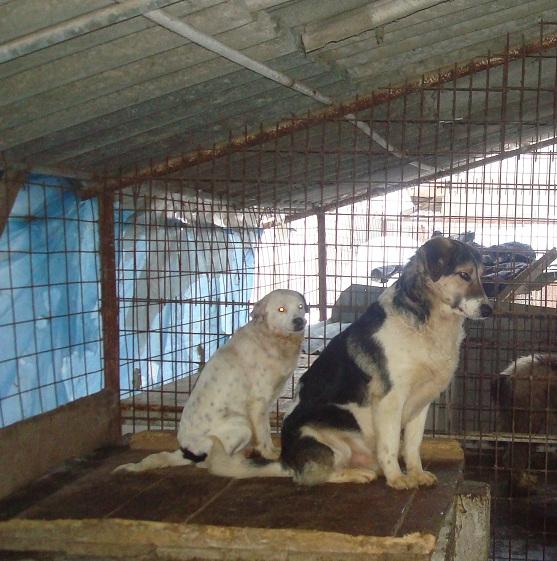 STARLIGHT, F-X épag. tibétain petite taille née 2009 (Pascani) Prise en charge Asso CCTNA - Page 2 Buftea42