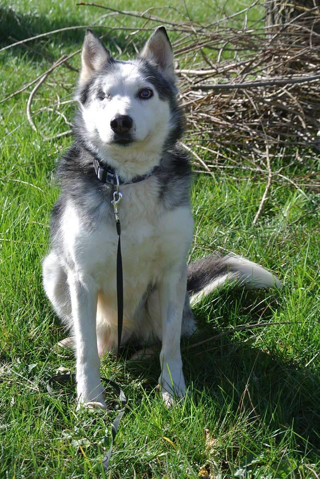 BLUE EYES  8ans, Husky sauvé de Roumanie ASSO65 - Page 2 Blue1210