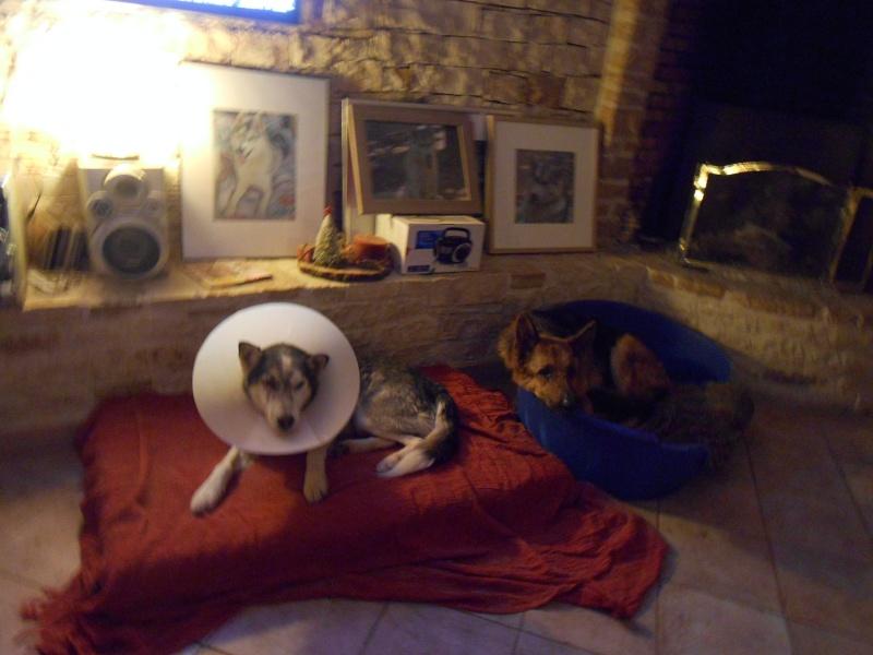 BLUE EYES  8ans, Husky sauvé de Roumanie ASSO65 Dscn4714