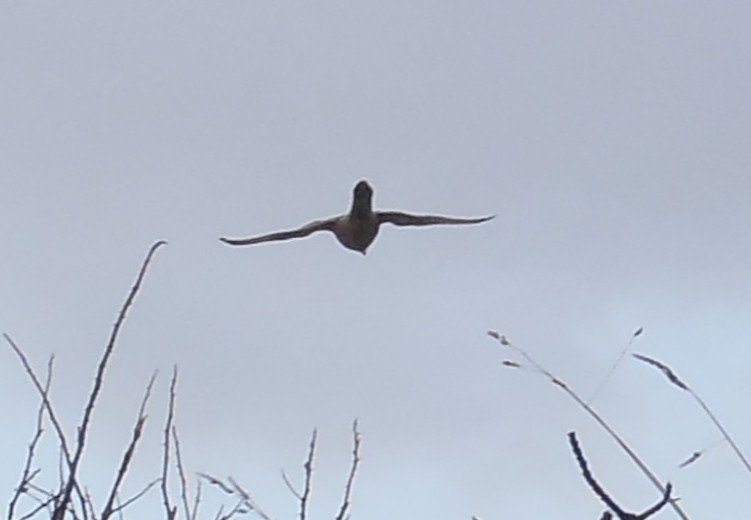 [Faucon crécerelle (Falco tinnunculus)] Faucon ? P2150217