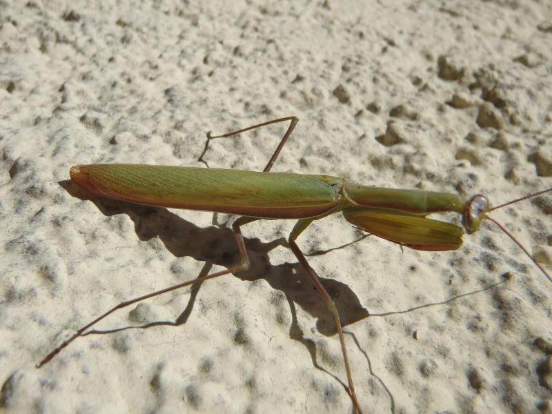 Mante religieuse (Mantis religiosa) P9230110