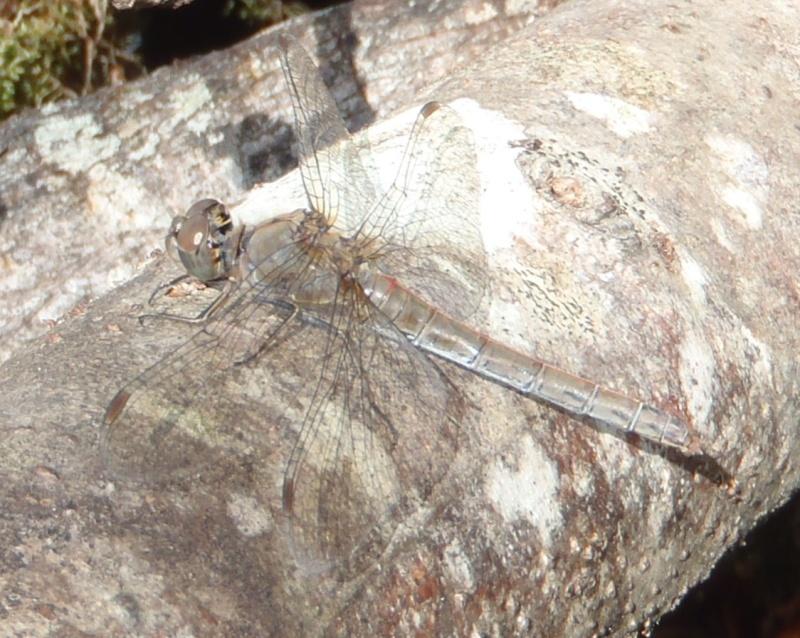 Sympetrum méridional? Pa290012
