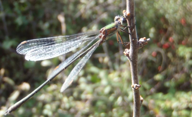 Chalcolestes v. viridis Pa290016