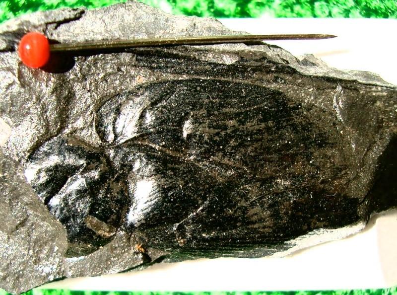 Insectes au Carbonifère Cimg0510