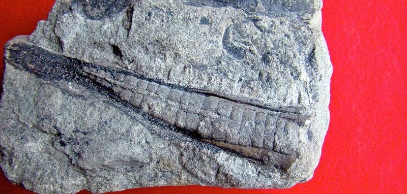 La reproduction  des végétaux au carbonifère Dsc00129