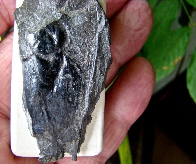 Insectes au Carbonifère Dsc09518
