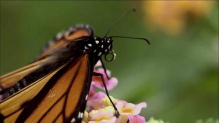 Documentaire : la migration des monarques Monarq10