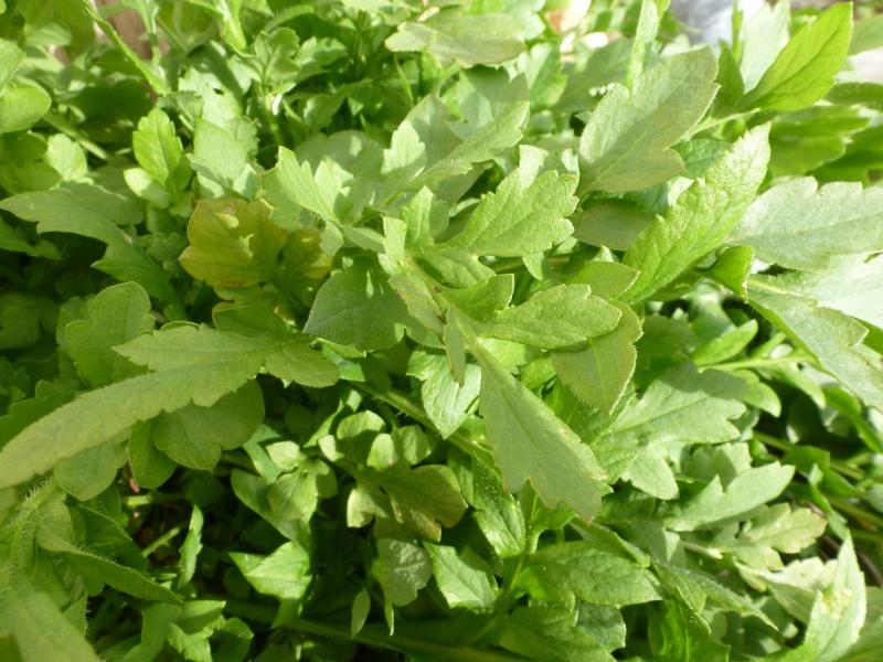 peut être feuilles de coquelicots ? P1060514