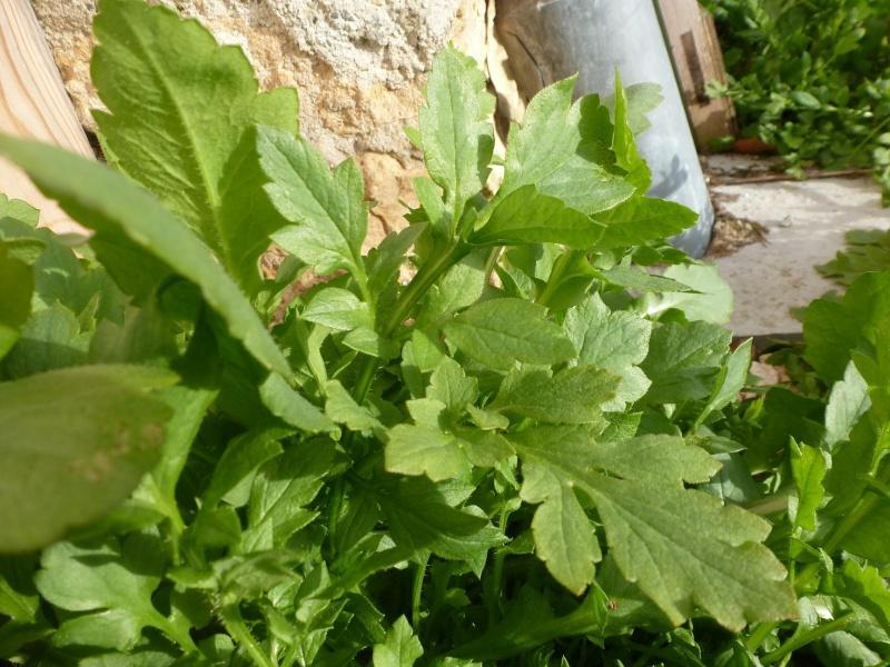 peut être feuilles de coquelicots ? P1060515
