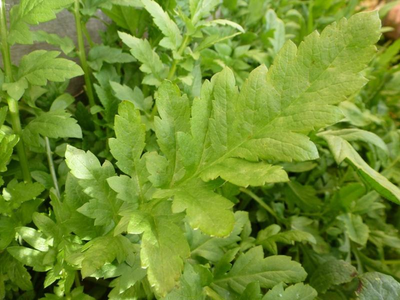 peut être feuilles de coquelicots ? P1060516