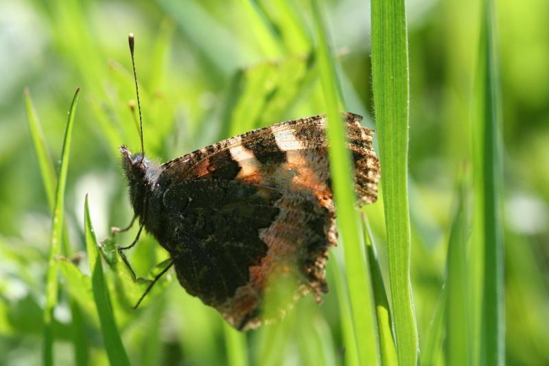 Premières observations de papillons en 2014 - Page 2 Img_8612