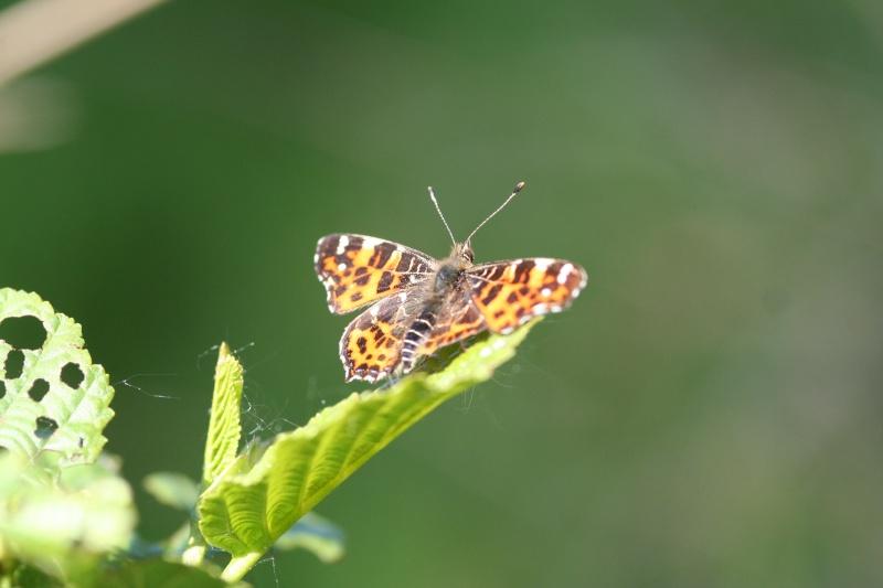 Premières observations de papillons en 2014 - Page 2 Img_8810
