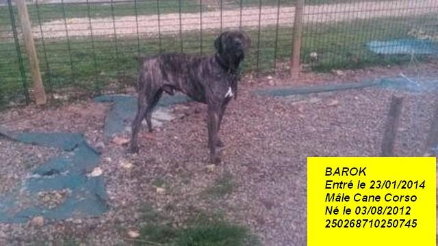 BaROK Cane Corso 250268710250745 Barok_10