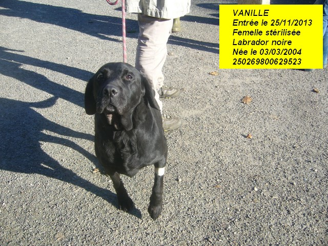 VANILLE Labrador noire 250269800629523 P1190318