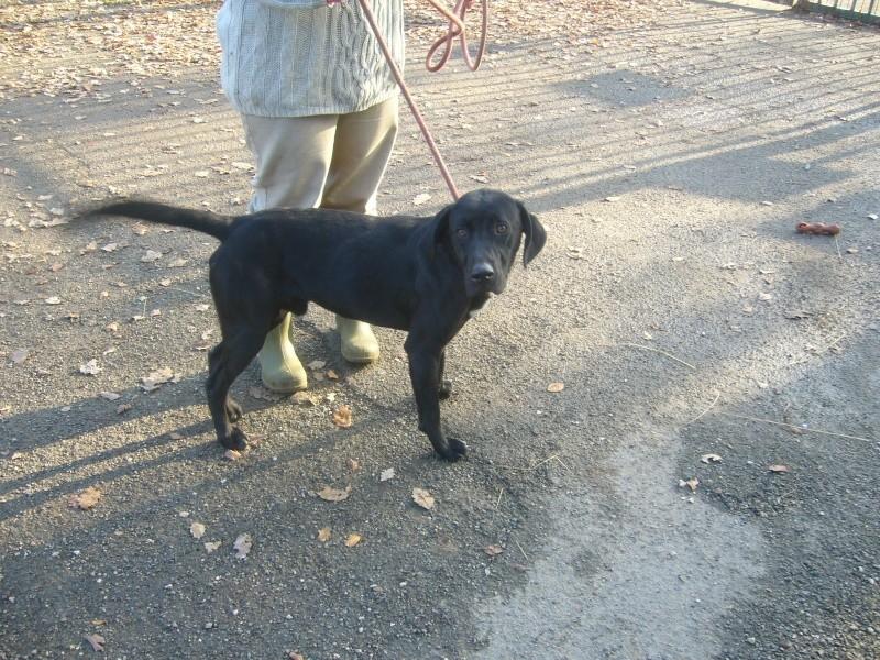 Labrador noir 250269802285137 P1190720