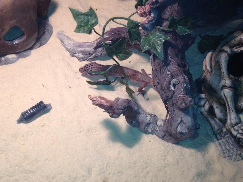 geckos ne mangent pas Img_0214