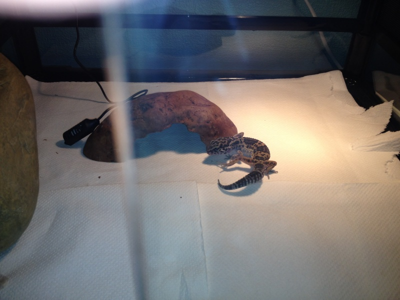 geckos ne mangent pas Img_0217