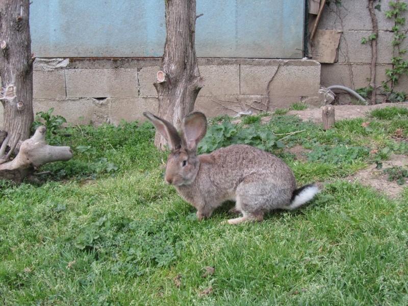 Voici mes deux nouvelles lapines Lapin_11