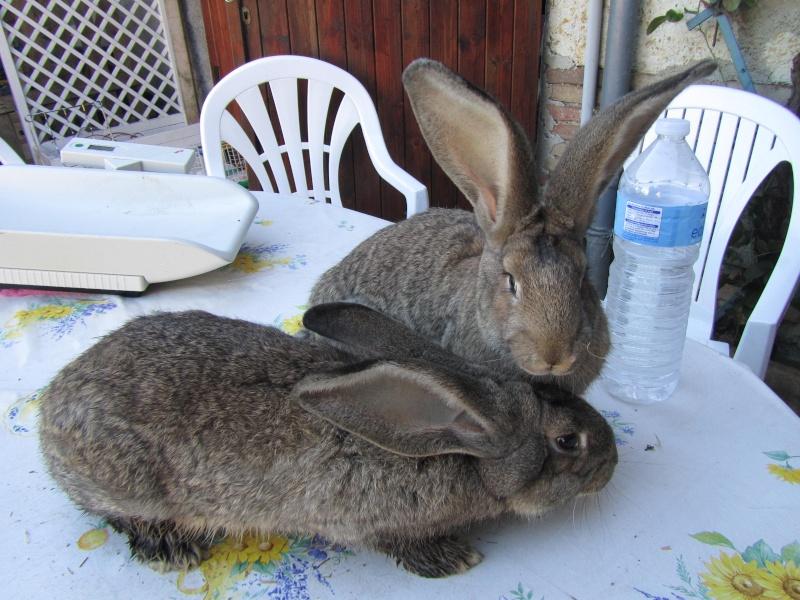 Voici mes deux nouvelles lapines Lapin_12