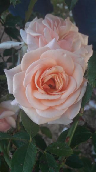 La couleur des roses... 20190619