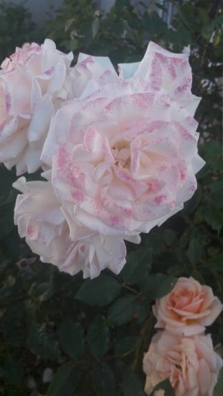 La couleur des roses... 20190620