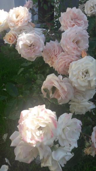 La couleur des roses... 20190621