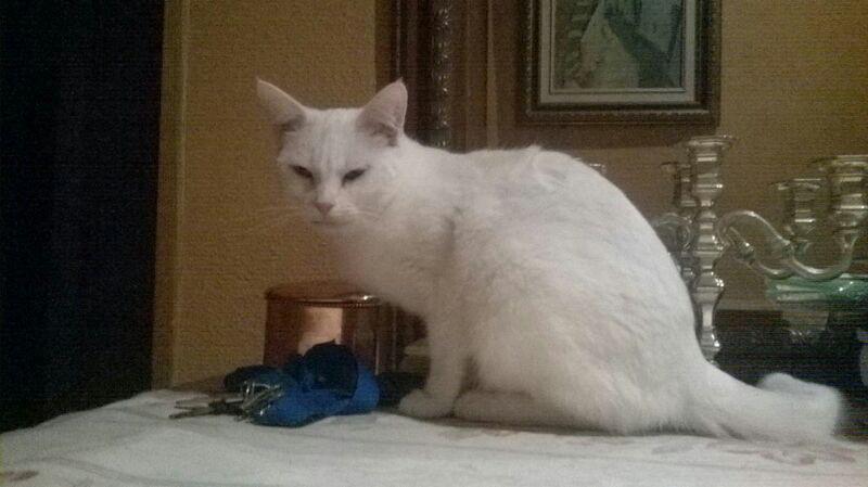 CHARLI  blanc aux yeux  couleur or  B114
